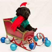 Merry Christmas - portrait of black labrador puppy in Christmas sledge poster