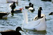 A White Chinese Goose floating among Mallards poster