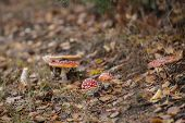 Mushrooms toadstools. bright small poisonous mushrooms toadstool group psilocybin poster