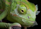 A baby veiled chameleon is shedding its skin. poster