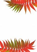Two Rowan leaves in red and green colors of fall one at the top of the frame one at the bottom with both on a horizontal axis against a white background. (Sorbus Embley known for its flaming scarlet color in Autumn.) poster