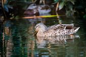 Male Mallard Duck wading in a pond with head down looking at the water, on Granville Island in Vancouver, British Columbia, Canada poster