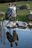 Marabou Stork (Leptoptilos crumeniferus) is a large wading bird in the stork family Ciconiidae. poster