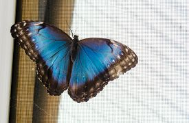 Common Blue Morpho Butterfly (morpho Peleides) On A Screen With Open Wings.