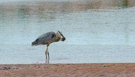 Great Blue Heron (ardea Herodias).  Large Wading Bird In The Heron Family Ardeidae, Catches A Fish I