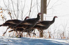 Eastern Wild Turkey (meleagris Gallopavo Silvestris) Hens Running Through A Wooded Yard.