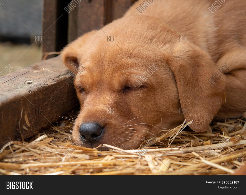 Fox Red Labrador Puppy Image Photo Free Trial Bigstock