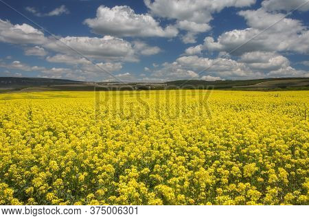 Yellow Field Of Rapeseed, (rapeseed In Latin Brassica Napus) And A Blue Sky With White Clouds. Rapes