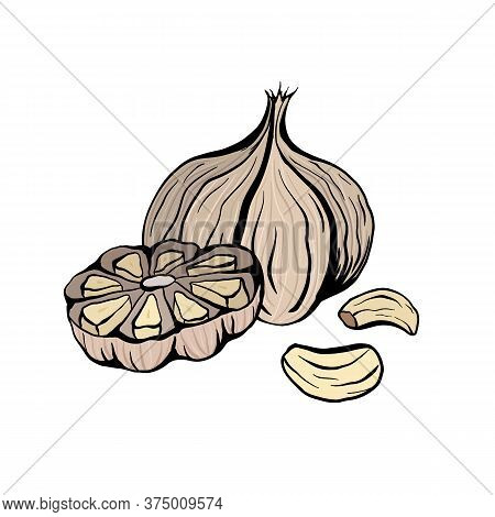 Colorful Sketch Garlic Illustration. Antibacterial Product For Health. Useful Seasoning For Cooking.