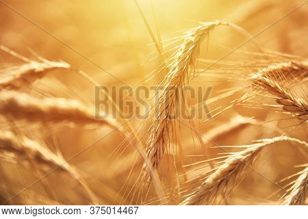 Rye Ears Close Up. Rye Field In Summer Day. Harvest Concept