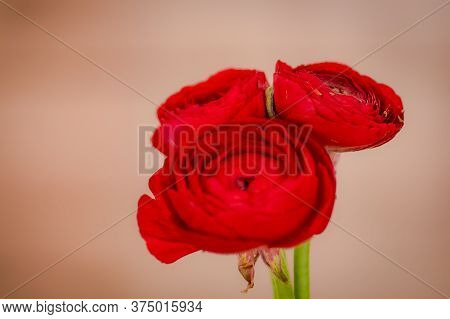 Close Up Of A Bouquet Of Ranunculus Red Summer Flowers Variety, Studio Shot, Red Flowers