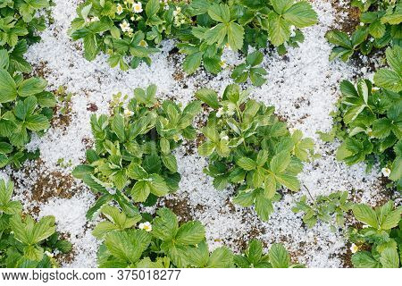 Bushes Of Blooming Strawberries, Covered With Summer Hail