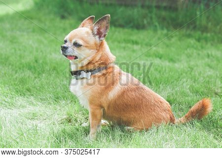 Funny Cute Red Brown Dog Chihuahua Sitting On A Green Lawn, Sticking Out His Tongue