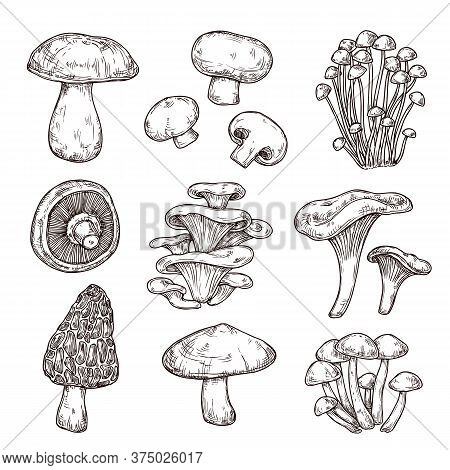 Sketch Mushroom. Nature Ingredients, Tasty Mushrooms Champignon Portobello. Isolated Vegetarian Food