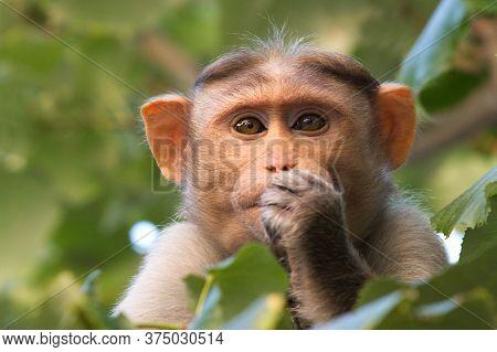 Beautiful Brown Monkey In A Tree Crown.