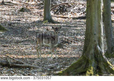 A Young Fallow Deer Stands In A Deciduous Forest Among The Trees. Wild Photo.