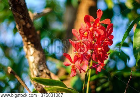 Beautiful Bouquet Of Red Orchid Flowers. Bunch Of Luxury Tropical Red-yellow Orchids. Cambria Orchid