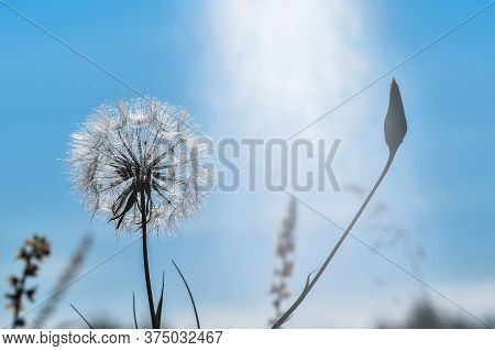 A Large White Dandelion In A Natural Stream Of Sunlight Against A Clear Blue Sky. Concept Of The Joy