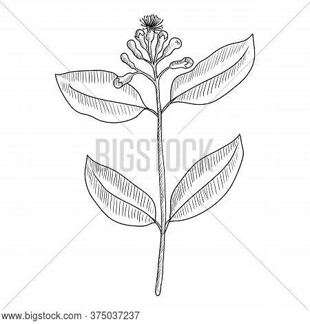 Vector Drawing Clove, Syzygium Aromaticum, Hand Drawn Illustration Of Medicinal Plant