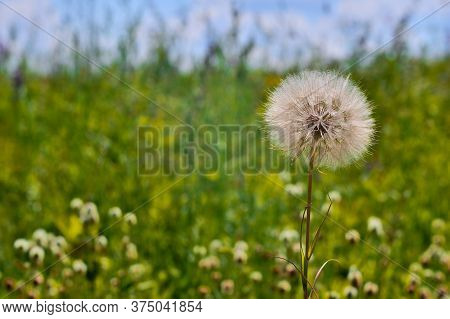 A Large White Dandelion Of A Salsify Close-up Against A Blooming Green Meadow And Blue Sky.