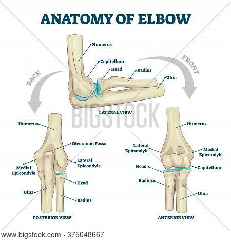Anatomy Of Elbow With Lateral, Posterior Or Anterior View Vector Illustration. Educational Labeled S