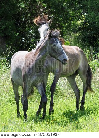 Two Young Colts Play Fight In A Paddock.