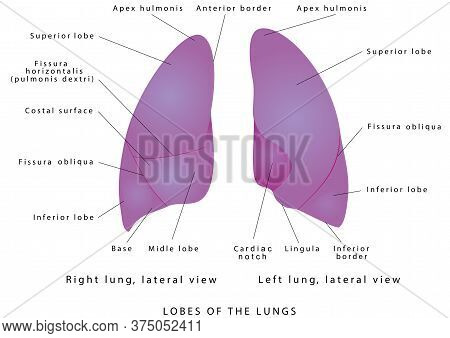 The Human Lungs. Right Lung And Left Lung Diagram Lung Lobe Lateral View. Detailed Diagram Of The Hu