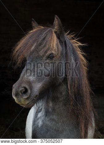 A Headshot Of A Cute Shetland Pony Against A Black Background.