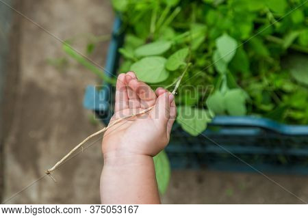 Close-up Of A Childs Hand Holding A Blade Of Grass In The Greenhouse