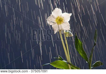 Hellebore Flower (helleborus Orientalis) On The Background Of Raindrops Tracks