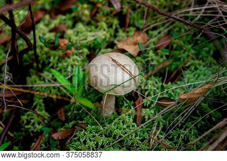 Edible Boletus Mushroom Growing On Amazing Green Carpet Of Moss, In The Wetland In The Autumn Forest