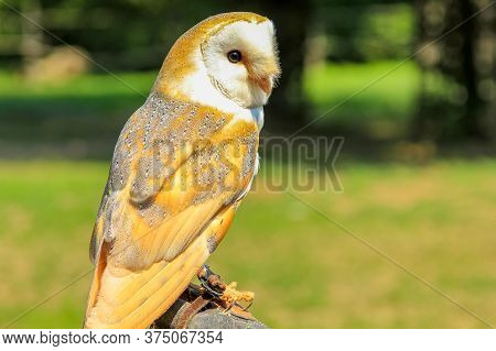 Nocturnal Barn Owl Portrait, Tyto Alba, In The Wilderness With Green Park Background. Falconry Birds