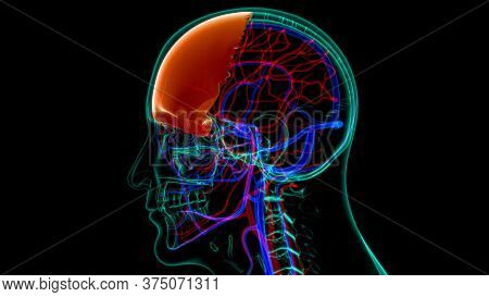 Human Skeleton Skull Frontal Bone Anatomy For Medical Concept 3d Illustration