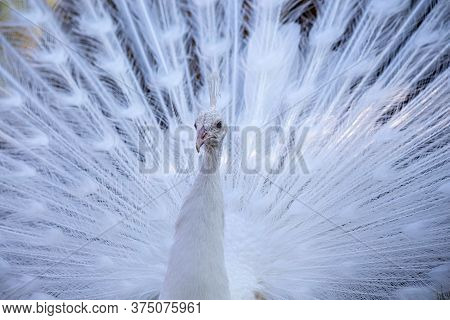 Portrait Of A Graceful White Peacock With A Magnificent Tail. Close-up, Selective Focus.