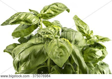 Seedlings Of Fresh Green Basil Herb Leaves In A Pot, Isolated On White Background. Ocimum Basilicum.