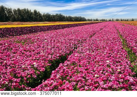 Beautiful sunny day. The field of luxurious springtime flowers of buttercups. Spring walk in southern Israel. Ecological, botanical and photo tourism concept