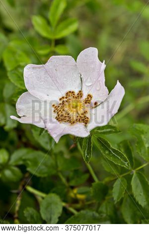 The Flower Of Dog Rose, Wild Rose (rosa Canina) With Green Leaves In The Natural Environment. Rosa A