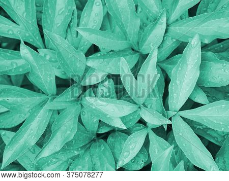 Turquoise Tinted Floral Background. Peony Foliage Close-up With Raindrops On The Leaves. Aquamarine