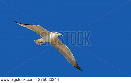 Seagull In Flight With Outstretched Wings Close Up Isolated On A Blue Background, Copy Space. Seabir