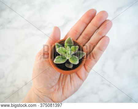 Caucasian Hand Holding A Small Terracotta Pot With Young Echeveria Setosa, A Hairy Evergreen Succule