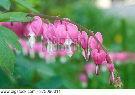 Dicentra Flowers In Heart Shape. Floral Photo.