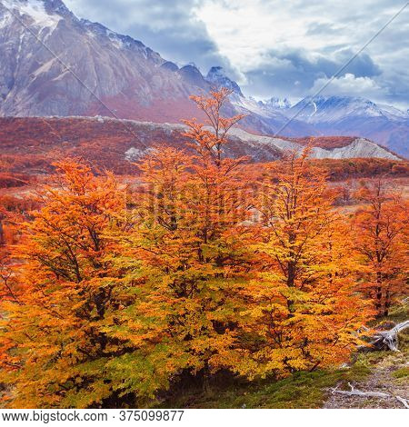 Golden Forest Trees Near The Fitz Roy In Autumn. Fitz Roy Is A Mountain Located Near El Chalten In T