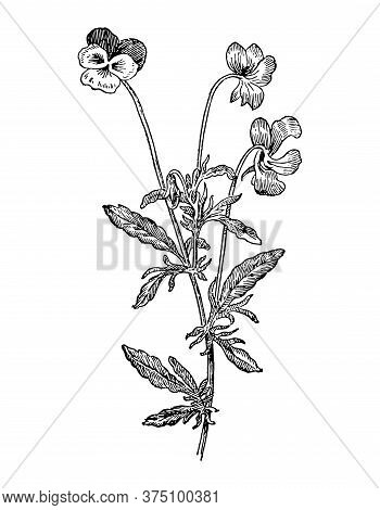 Viola Tricolor Flowers And Leaves Isolated Background. Elegant Drawing Heartsease Plant, Wild Herb.