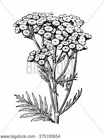 Tansy Flowers And Leaves Isolated Background. Elegant Drawing Tanacetum Vulgare Plant, Wild Herb. Na