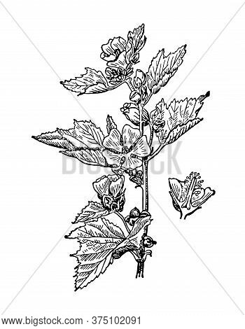 Althaea Officinalis Flowers And Leaves Isolated Background. Marshmallow Plant Herbaceous Or Meadow H