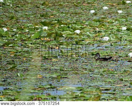A Solitary Juvenile Wood Duck Swimming In A Marshy Body Of Water.