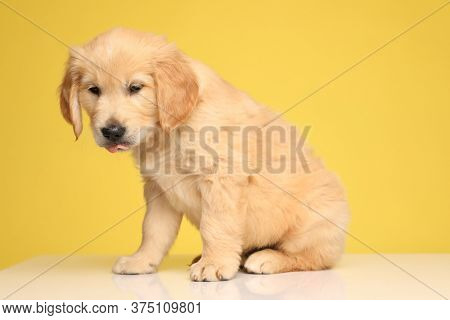 cute labrador retriever pup looking down and sticking out tongue, sitting on yellow background