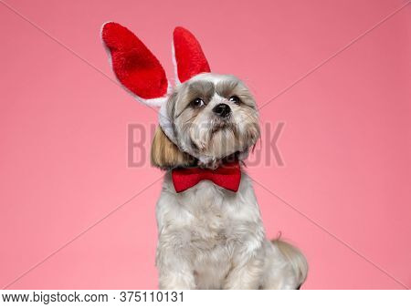 adorable shih tzu doggy wearing rabbit ears and red bowtie, looking up and sitting on pink background