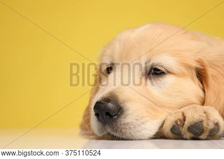 adorable labrador retriever puppy holding head on the floor and falling asleep on yellow background