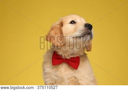 adorable golden retriever pup wearing red bowtie and looking up side on yellow background